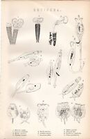 1880 Stampa ~Naturale Storia~ Rotifera Acquatiche Animali ~ Cathypua Luna Ecc.