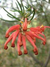 Grevillea Big Red in 75mm supergro tube native plant screen hedge windbreak