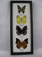 4 echte exotische Schmetterlinge im Schaukasten - einmalig und wunderschön h 08