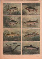Fishs Poissons Anguille Saumon Brochet Barbeau Truite Perche 1899 ILLUSTRATION