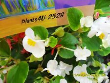 Begonia cane-stemmed Begonia White flowering Fresh cutting