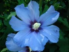 25-SEMI -HIBISCUS-Rose of Sharon 'SKY BLUE'
