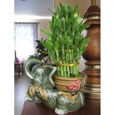 "Lucky Bamboo Plant Jumbo Size Elephant Ceramic Vase with 3 Tier 4"" 6"" 8"" Quality"
