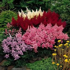 50 Mixed Colors Astilbe Bunter Simplicifolia Shade Flower Seeds +Gift & Comb S/H