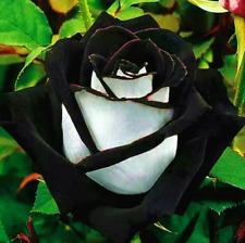 20 seeds rare white black edge rose flower seeds