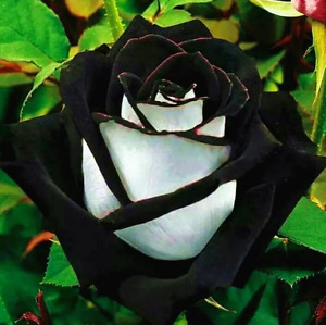 20 seeds rare white black edge rose flower seeds
