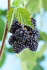3 Thornless Blackberry Black Satin / Rubus Fruticosus / Thornfree Sweet & Juicy