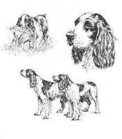 English Springer Spaniel - 1963 Vintage Dog Print - Matted *