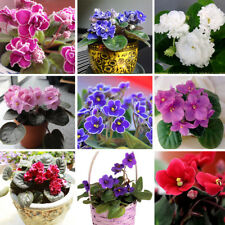 Violet Seeds African Violet Seeds Garden Potted Plants Violet Flower Mix 100PCS