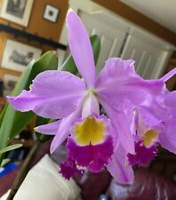 Species Cattleya wallisii / eldorado 'Mt. Ito' Bm/Jos w Sheath Mature Plant Rare