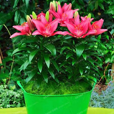 Pink Lily Flower Bulbs (Not Lily Seeds) - 4 Bulbs