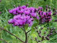 Ironweed- Vernonia Fasciculata- 200 Seeds- BOGO 50% off SALE