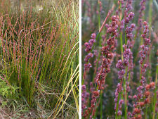 Tassel Cord Rush Seed Damp Areas Native Floristry Perennial Fauna Refuge Frogs