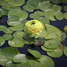 Liveseeds - Mini Yellow Bonsai Lotus/ Water Lily Flower /5 Fresh Seeds