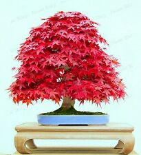 15 Seeds Bonsai Red Maple Tree Seeds Imported Maple Seeds Indoor Bonsai Maple