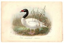 J. G. Keulemans - Black-naked Swan - Cygnus m. - Lithograph - hand-colored, 1869