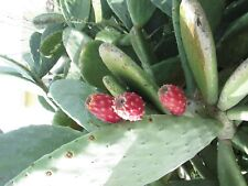 CYPRUS PRICKLY PEAR  - OPUNTIA FICUS INDICA - 75 SEEDS
