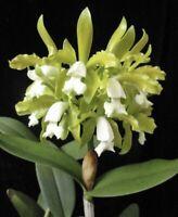 "Cattleya guttata alba Fragrant Big Plant NEW IMPORT 4"" (15)"