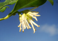 Christmas Box SARCOCOCCA, flowering shrub, fragrant, evergeen, shade plant, 5cm