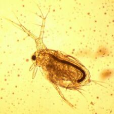 *BOGOF* 10x Moina Macrocopa (Daphnia like but better) Culture Eggs Cysts *BOGOF*