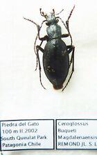 Ceroglossus buqueti magdalenaensis (male A1) from CHILI Patagonia !!!