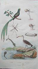 Gravure en couleur XIXè s. Courlis. Couroucou, Cousin. Ornithologie. Entomologie