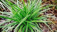Carex Eversheen  Lime yellow striped foliage Low maintenance 2LT POT