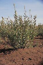 SAND  CHERRY TREE Prunus beseyii  1-2' LOT OF 4