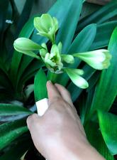 Glorified Emerald Clivia (2 year old)