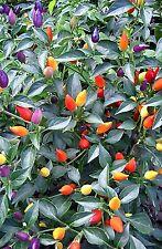 CHILI PEPPER HOT BOLIVIAN RAINBOW Chili Pepper 250 Seeds - BULK