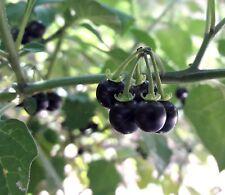200 Semi Solanum Nigrum Morella Comune Black nightshade seeds