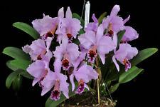"BIN Super Spring /'Starburst/' Cattleya Orchid Plant BS 4/"" Pot"