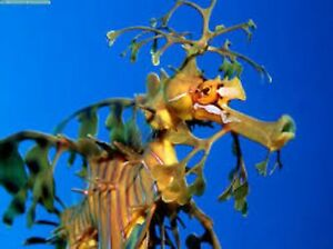 Live Copepods Mix 2Lt  + PhytoPreme 16oz Copepod Food Feed Mandarin Seahorse
