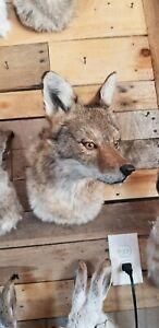 Shoulder Coyote Mount Taxidermy Decor novelty mount bobcat melanistic fox