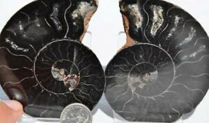 "9423 RARE 1in100 BLACK Ammonite PAIR Deep Crystals 110myo FOSSIL LRG 75mm 3.0"""