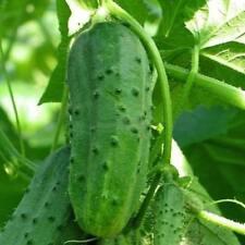 Cucumber TITUS F1 Seeds cucumber seeds non-GMO Ukraine 1 g