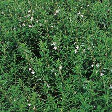 Hierba Semillas-Ajedrea Invierno - 4000 Semillas
