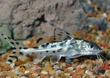 "New listing Pictus Catfish 2"""