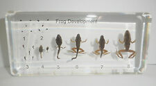 Frog Life Cycle Set East Asian Bullfrog 8 Stages Animal Specimen Learning Aid