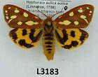 Erebidae, Arctiinae, Hyphoraia aulica aulica, female, A1-, Ukraine