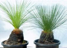 XANTHORRHOEA resinosa Grass Tree Seeds (N 372 Bonsai)