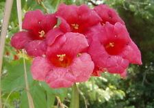 Campsis radicans Dark Red Trumpet Vine Flamenco 30 seeds