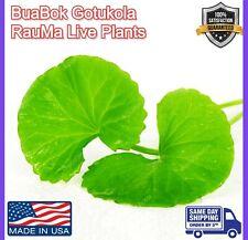 Gotu Kola Bua BoK Rau Ma Pennywort Centella Asiatic บัวบก 積雪草 JiXue Cao3x plant