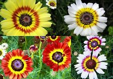150+ Samen Chrysanthemum carinatum / tricolor - Bunte Wucherblume