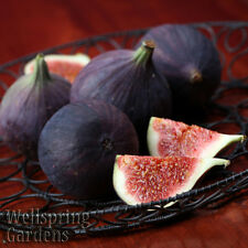 HARDY FIG FRUIT TREE 'Black Mission' Plant FRANCISCAN, CALIFORNIAN