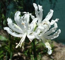 Nerine ALBA - WHITE - flower  Size Bulbs  X 2 - SPECTACULAR SHOW FREE POST
