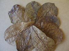 "10 x Indian Almond Leaves ( Catappa Terminalia ), 5-6"", Shrimp , Black Water ."