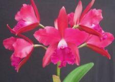 Blmg Size! Pot Love Triangle ~Carmela~ Fragrant Compact Cattleya Orchid Plant