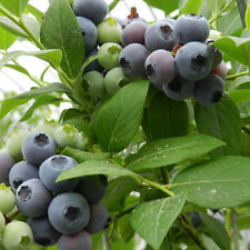 30pcs Dwarf Highbush Blueberry Vaccinium Seeds SEEDS Fruit Plant For Home