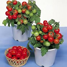 30PCS Dwarf Red Robin Tomato Seeds Home Garden Plants, potted tomato seeds